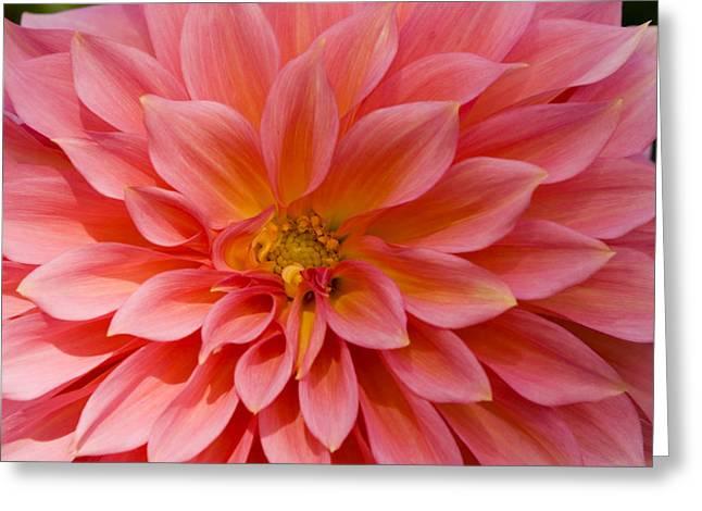 Butchart Gardens Greeting Cards - Closeup Of A Pink Flower In Butchart Greeting Card by Tim Laman