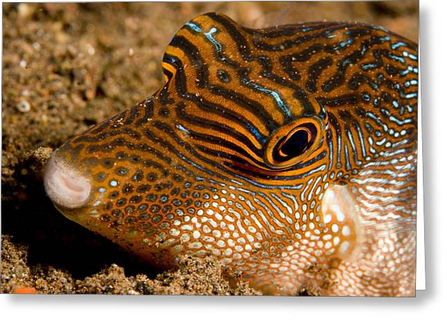 Puffer Greeting Cards - Closeup Of A Spotted Toby Canthigaster Greeting Card by Tim Laman