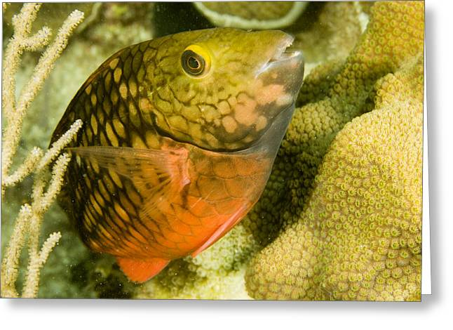 Closeup Of A Stoplight Parrotfish Greeting Card by Tim Laman