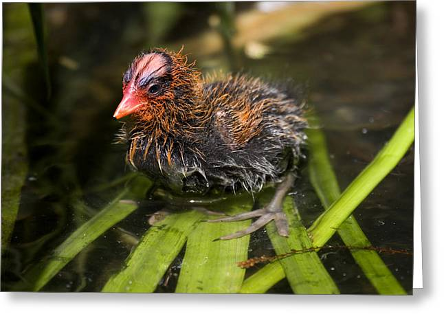 Photogrpah Greeting Cards - Closeup Of An American Coot Chick Greeting Card by Tim Laman