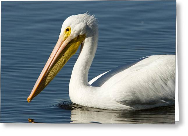 American White Pelican (pelecanus Erythrorhynchos) Greeting Cards - Closeup Of An American White Pelican Greeting Card by Tim Laman
