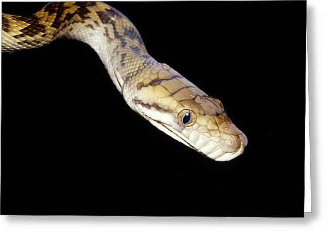 Constricting Greeting Cards - Closeup Of An Amethystine Python Greeting Card by Jason Edwards