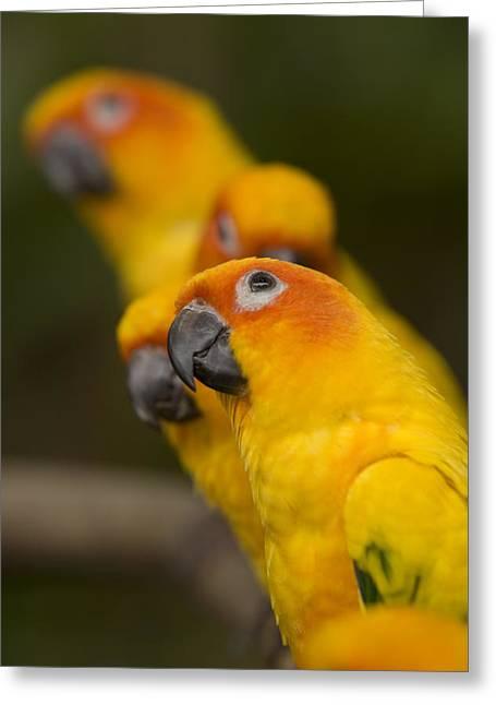 Captive Animals Greeting Cards - Closeup Of Five Captive Sun Parakeets Greeting Card by Tim Laman