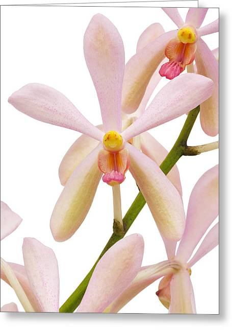 Pink Flower Branch Greeting Cards - Closeup Pink Orchid Greeting Card by Atiketta Sangasaeng