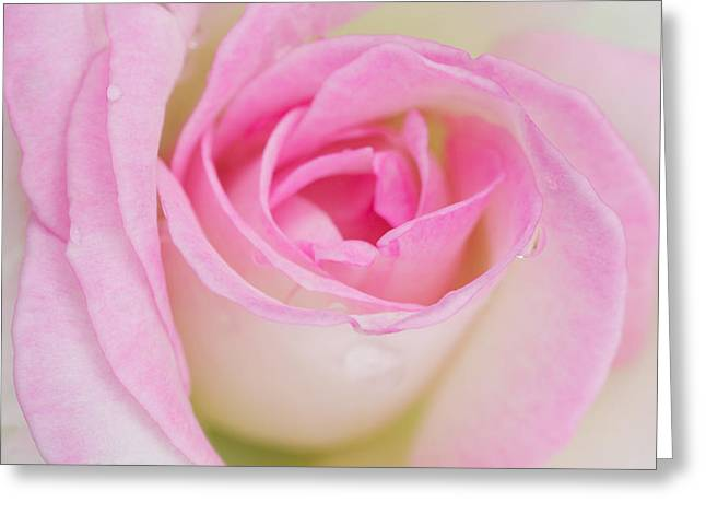 Occasion Greeting Cards - Closeup Pink Rose Greeting Card by Atiketta Sangasaeng