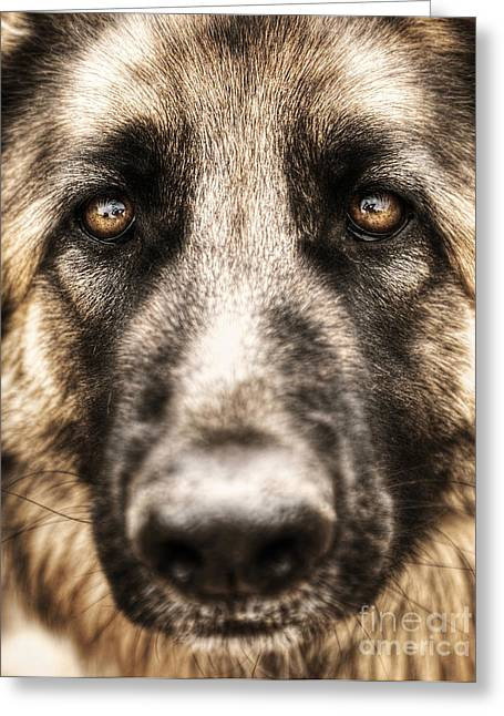 Hairy Wolf Greeting Cards - Closeup portrait of german shepherd  Greeting Card by Anna Omelchenko