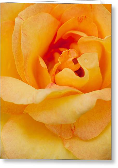 Occasion Greeting Cards - Closeup Yellow Rose Greeting Card by Atiketta Sangasaeng