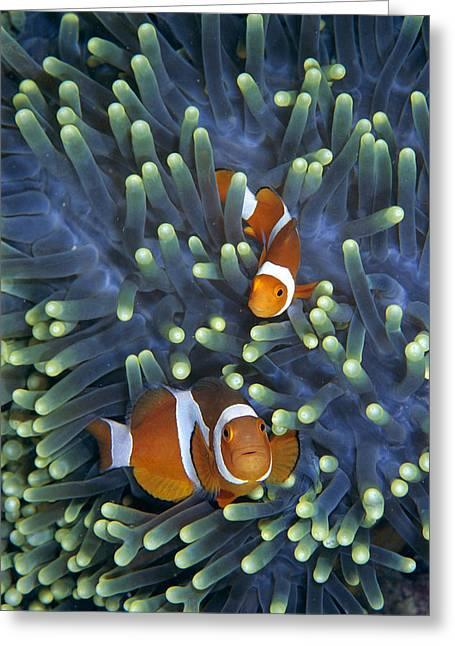 Pomacentridae Greeting Cards - Clown Anemonefish Amphiprion Ocellaris Greeting Card by Hiroya Minakuchi