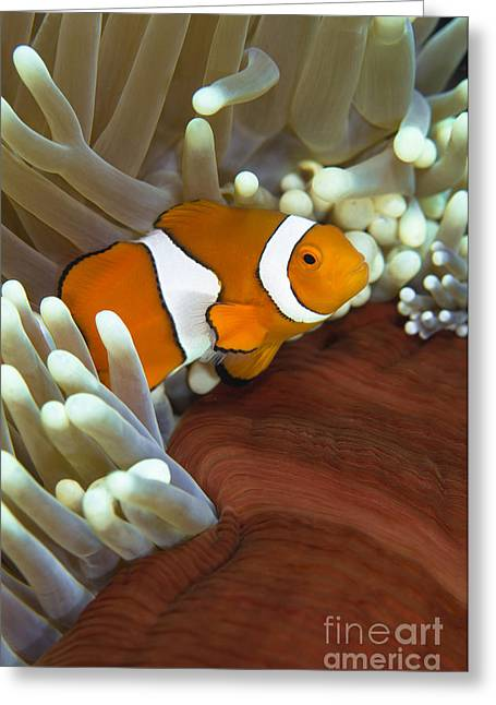 Osteichthyes Greeting Cards - Clown Anemonefish In Anemone, Great Greeting Card by Todd Winner