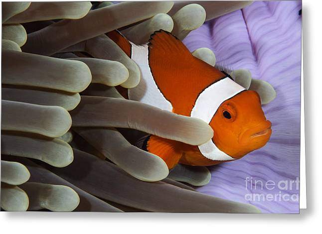 Damselfish Greeting Cards - Clown Anemonefish, Indonesia Greeting Card by Todd Winner