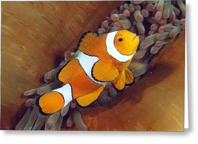 Anemonefish Greeting Cards - Clown Anemonefish Greeting Card by Matthew Oldfield