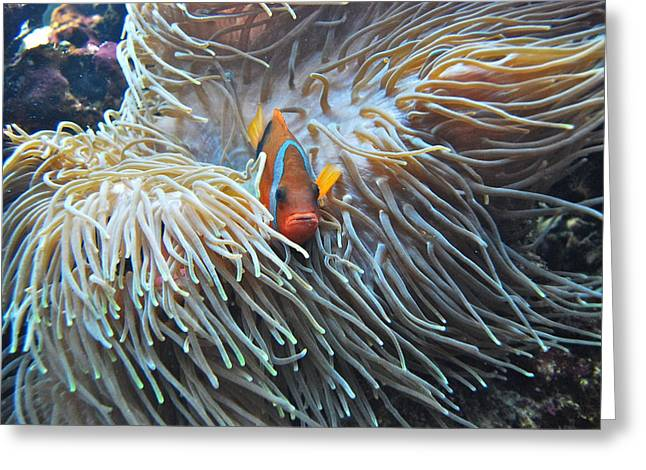 Anemonefish Greeting Cards - Clown Fish Greeting Card by Michael Peychich
