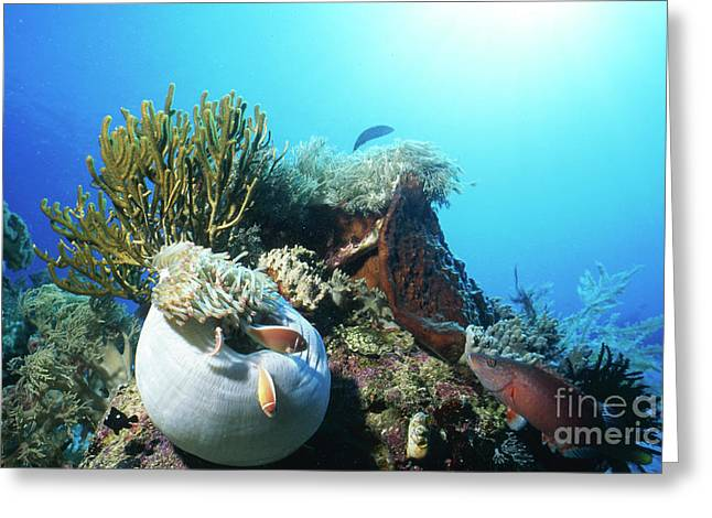 Undersea Photography Greeting Cards - Clownfish And Sea Anemone, Indonesia Greeting Card by Beverly Factor