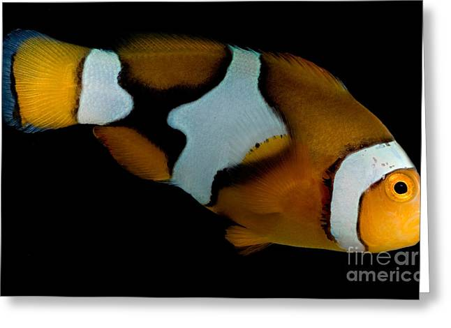 Reef Fish Greeting Cards - Clownfish Greeting Card by Danté Fenolio