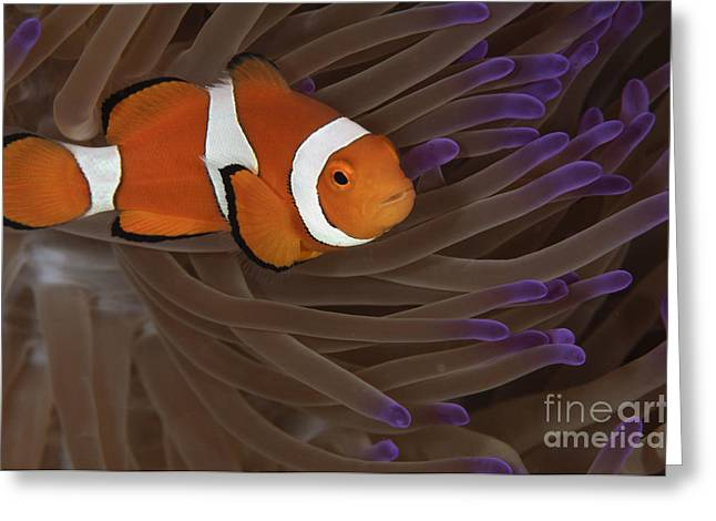 Osteichthyes Greeting Cards - Clownfish In Purple Tip Anemone Greeting Card by Todd Winner