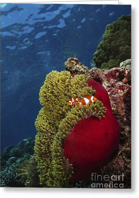 Symbiotic Relationship Greeting Cards - Clownfish Inside A Red And Green Greeting Card by Mathieu Meur