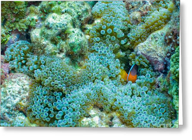 Brian Governale Greeting Cards - Clownfish Peek-A-Boo Greeting Card by Brian Governale