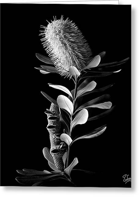 Flower Photos Greeting Cards - Coast Banksia in Black and White Greeting Card by Endre Balogh