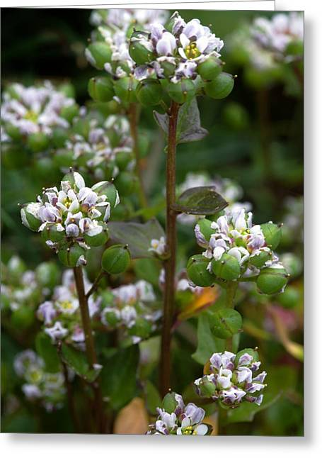 Scurvy Greeting Cards - Cochlearia Officinalis Greeting Card by Dr Keith Wheeler