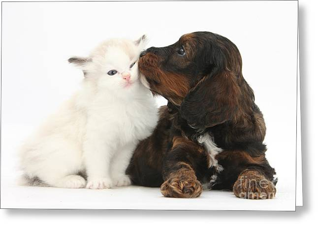 Cross Breed Greeting Cards - Cockapoo Pup And Ragdoll-cross Kitten Greeting Card by Mark Taylor