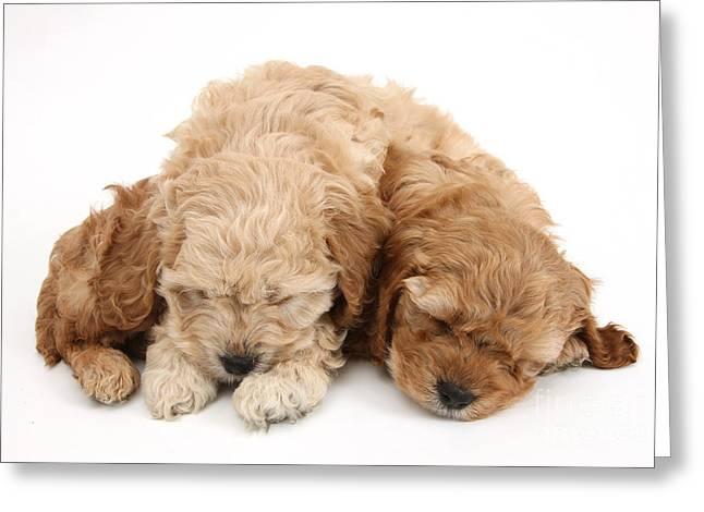 Sleeping Baby Animal Greeting Cards - Cockapoo Pups Sleeping Greeting Card by Mark Taylor