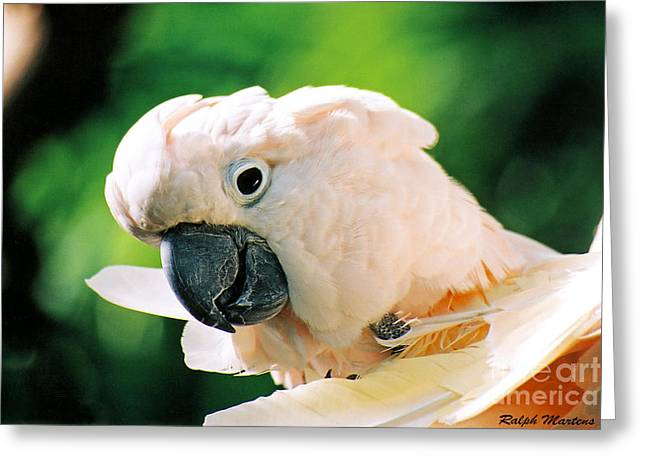 Cockatoo Greeting Cards - Cockatoo Parrot Greeting Card by Ralph Martens