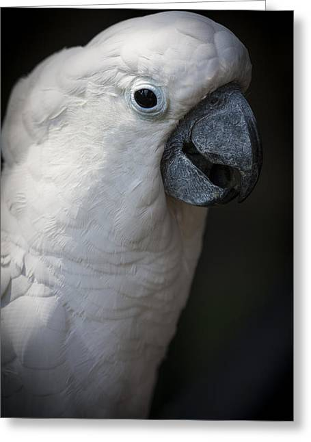 Pretty Cockatoo Greeting Cards - Cockatoo Greeting Card by Zoe Ferrie
