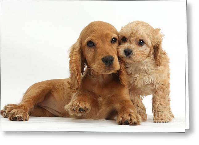 Cross Breed Greeting Cards - Cocker Spaniel & Cavapoo Greeting Card by Mark Taylor