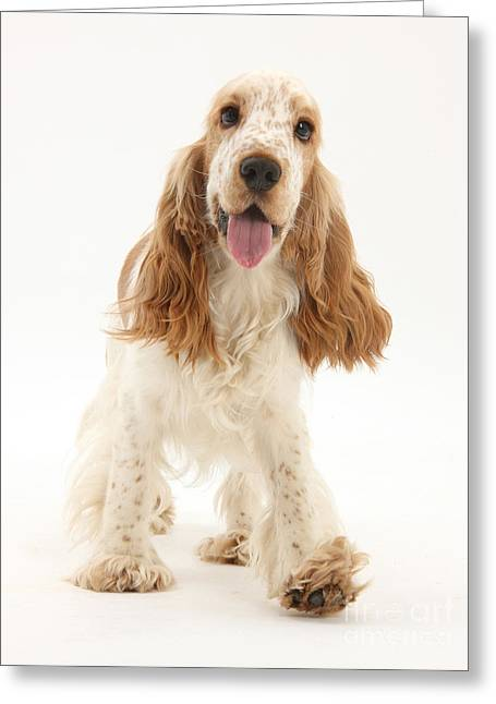 Panting Dog Greeting Cards - Cocker Spaniel Greeting Card by Mark Taylor