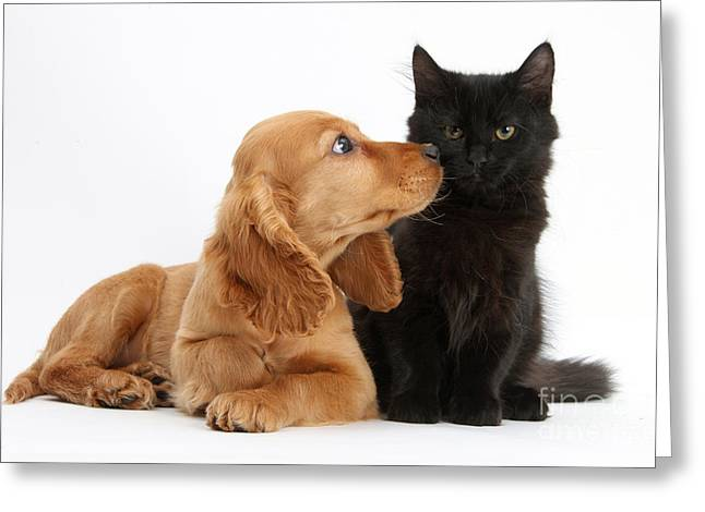 Mixed Species Greeting Cards - Cocker Spaniel Puppy And Maine Coon Greeting Card by Mark Taylor