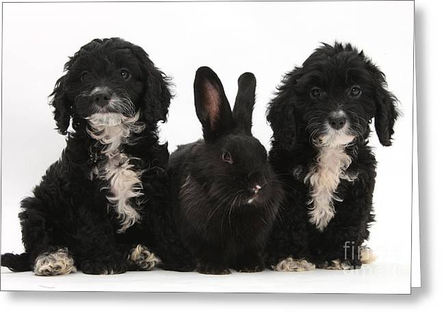 Tuxedo Greeting Cards - Cockerpoo Pups And Rabbit Greeting Card by Mark Taylor