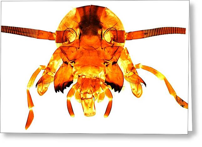 Maxilla Greeting Cards - Cockroachs Head, Light Micrograph Greeting Card by Dr Keith Wheeler