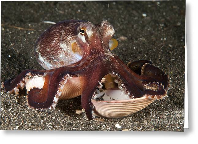 Clam In The Sand Greeting Cards - Coconut Octopus Carrying A Clam Shell Greeting Card by Mathieu Meur