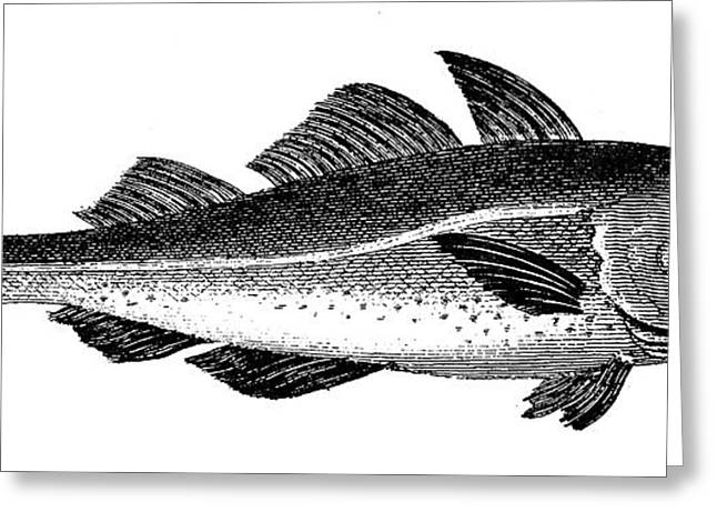 Aquatic Greeting Cards - Cod Greeting Card by Granger