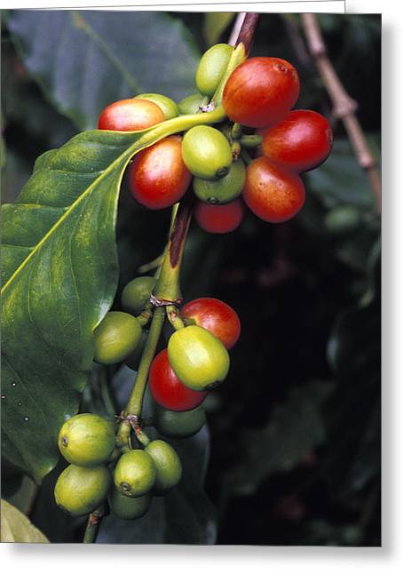Green Beans Greeting Cards - Coffe Bean Branches Grow On The South Greeting Card by Richard Nowitz
