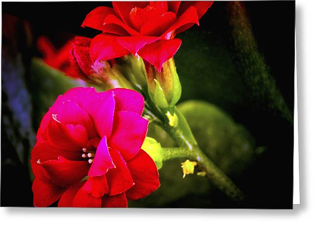 Flovers Greeting Cards - Colanchoe Red Square Greeting Card by Gennadiy Golovskoy