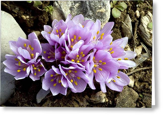 Bey Greeting Cards - Colchicum Triphyllum Greeting Card by Bob Gibbons