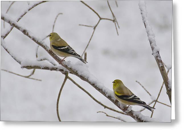 Finch Greeting Cards - Cold Yellow Finch Walk Greeting Card by LeeAnn McLaneGoetz McLaneGoetzStudioLLCcom