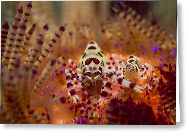 Coleman Shrimp Greeting Cards - Coleman Shirmp pair Greeting Card by Freund Gloria