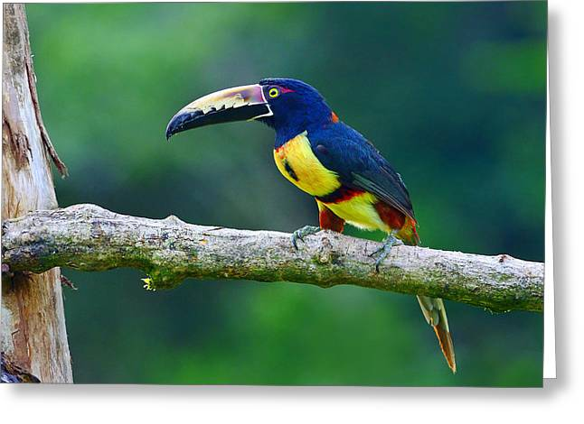 Collar Greeting Cards - Collared Aracari Greeting Card by Tony Beck