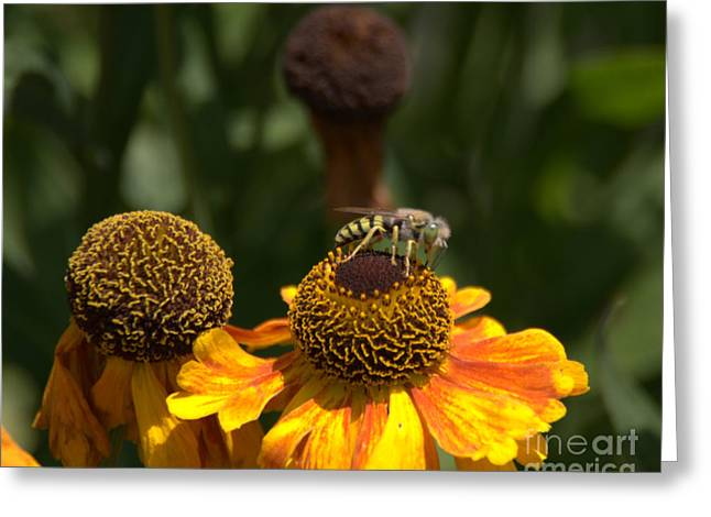 Photohraphy Greeting Cards - Collecting Nectur Greeting Card by Robert  Torkomian