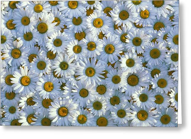 Compositae Greeting Cards - Collection Of White Daisy Flowers Greeting Card by David Nunuk