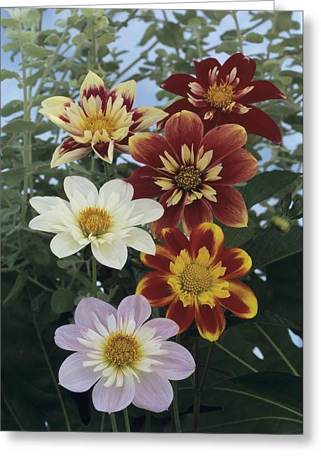 Monger Greeting Cards - Collerette Dahlias Greeting Card by Archie Young