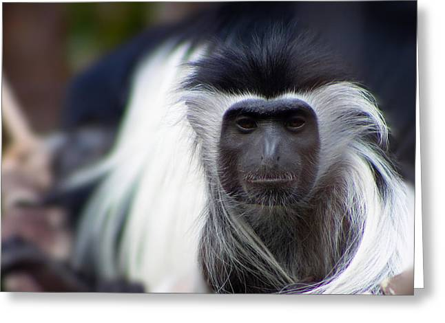 Greenville Zoo Greeting Cards - Colobus Monkey Greeting Card by Lynne Jenkins