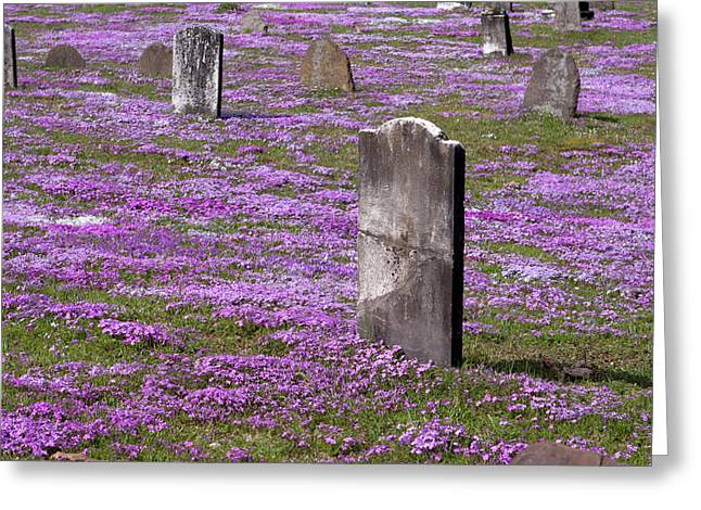Purple Phlox Greeting Cards - Colonial Tombstones Amidst Graveyard Phlox Greeting Card by John Stephens