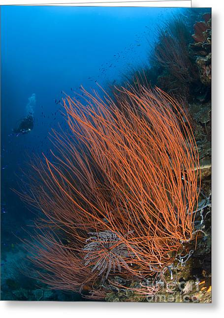 Colony Of Red Whip Fan Coral Greeting Card by Steve Jones