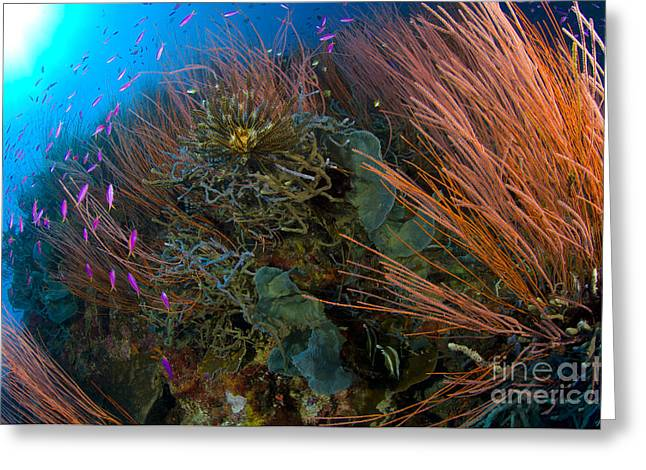 New Britain Greeting Cards - Colony Of Red Whip Fan Coral With Fish Greeting Card by Steve Jones