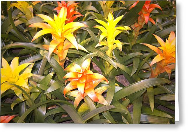 Bromeliad Photographs Greeting Cards - Color Display Greeting Card by Douglas Barnard