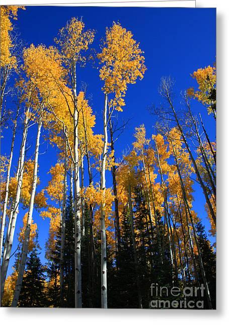 Yellow Trees Greeting Cards - Colorado Aspen Greeting Card by Dana Kern