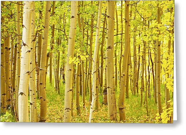 Office Space Photographs Greeting Cards - Colorado Fall Foliage Aspen Landscape Greeting Card by James BO  Insogna